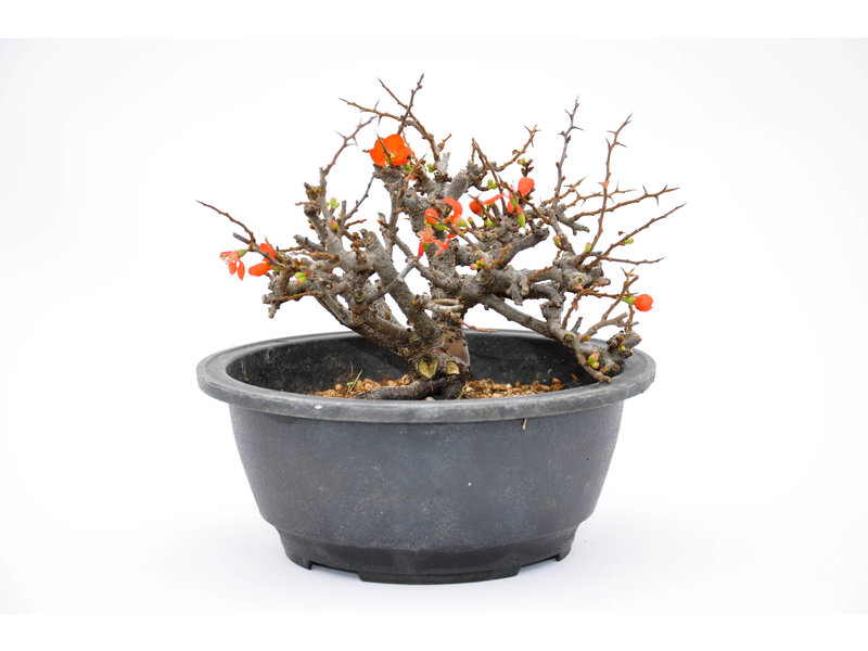 Chinese Quince 130 mm, ca. 12 years old