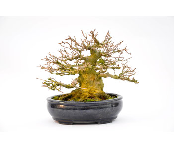 Trident Maple 140 mm, ca. 40 ans