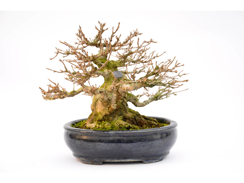 Trident Maple 140 mm, ca. 40 years old
