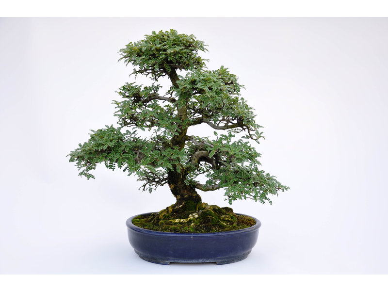 Peppertree 420 mm, ca. 40 years old