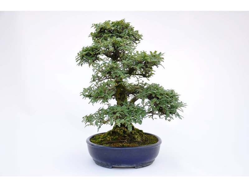Peppertree 420 mm, ca. 40 ans