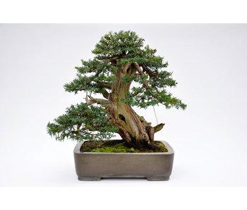 Japanse taxus 550 mm, ca. 70 jaar oud