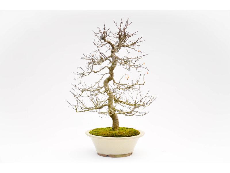 Japanischer Holzapfel 60 cm, ca. 25 Jahre alt
