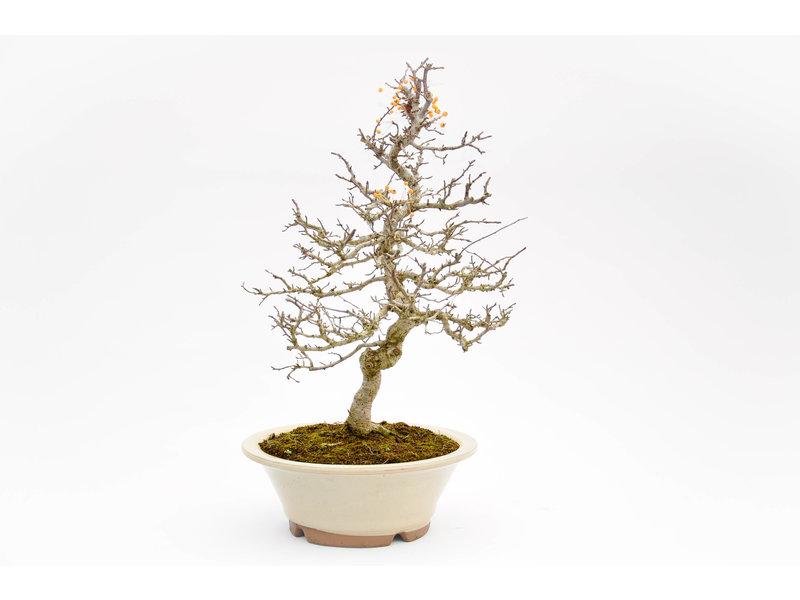 Japanischer Holzapfel 550 mm, ca. 25 Jahre alt