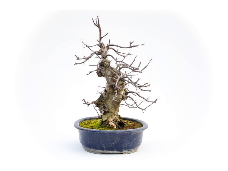 Nashi Birne 360 mm, ca. 20 Jahre alt