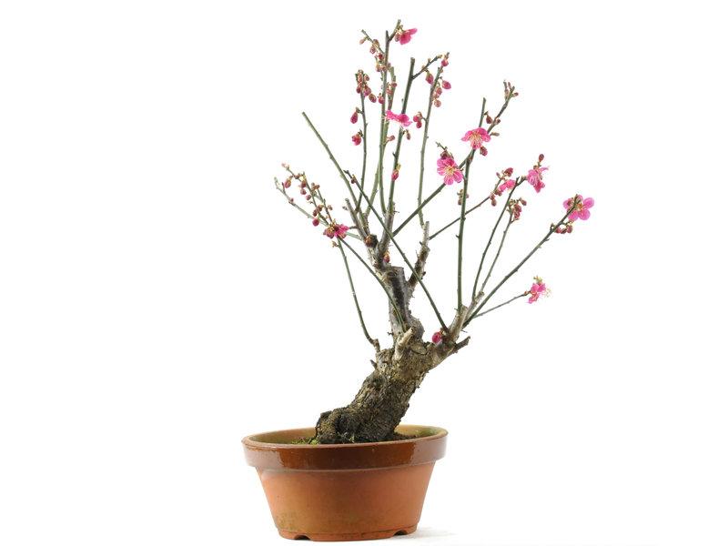 Japanische Aprikose 350 mm, ± 15 Jahre alt