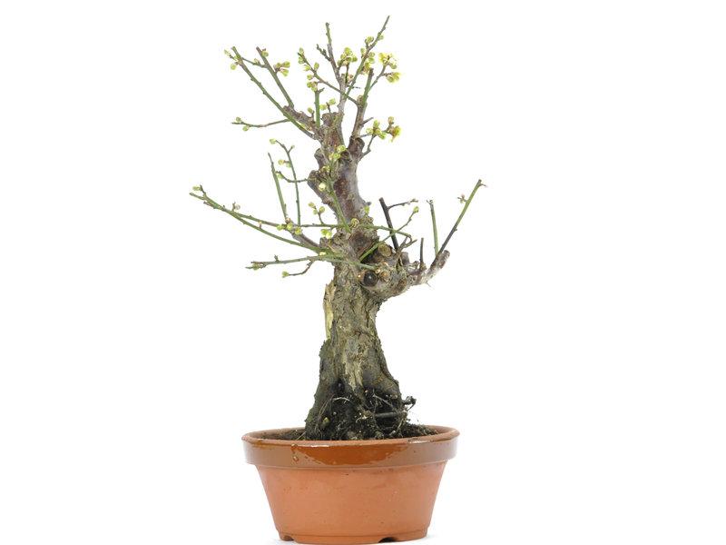 Abricot japonais 350 mm, ± 15 ans