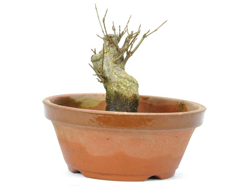 Acero tridente 90 mm, ± 14 anni