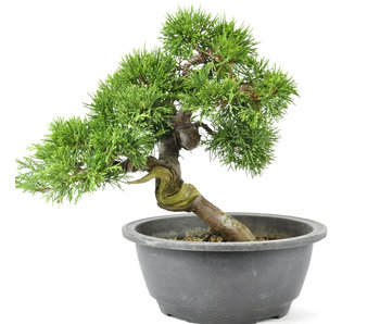 Chinese Juniper 220 mm, ± 20 years old