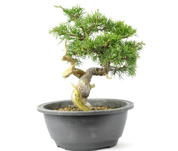 Chinese Juniper 200 mm, ± 20 years old