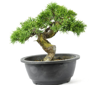 Chinese Juniper 190 mm, ± 20 years old
