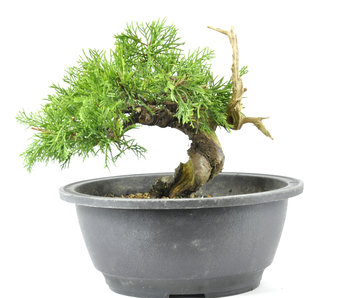 Chinese Juniper 140 mm, ± 20 years old