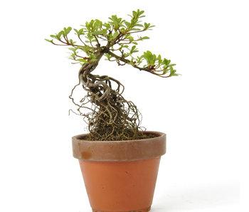 Azalea 150 mm, ± 12 jaar oud