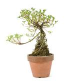 Azalea 200 mm, ± 12 jaar oud