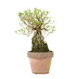 Azalea 180 mm, ± 12 jaar oud
