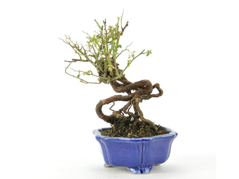 Koreaanse roos 160 mm, ± 10 jaar oud
