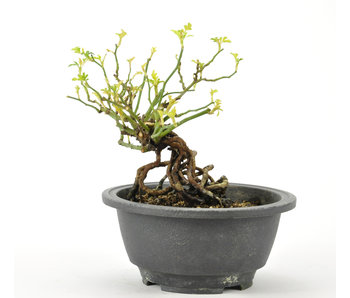 Koreanische Rose 140 mm, ± 10 Jahre alt