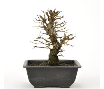 Cork bark elm with small leaves 130 mm, ± 8 years old