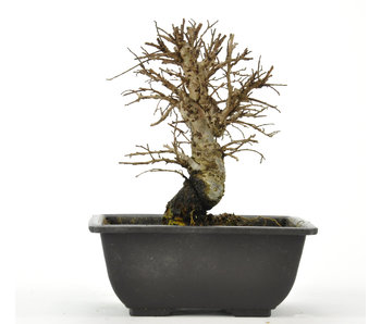 Cork bark elm with small leaves 120 mm, ± 8 years old