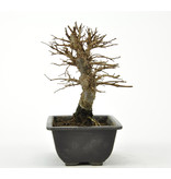 Cork bark elm with small leaves 140 mm, ± 8 years old