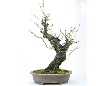 Abricot japonais 700 mm, ± 50 ans