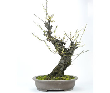 Japanese Apricot 700 mm, ± 50 years old