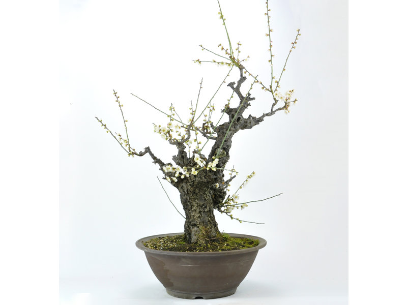 Japanese Apricot 750 mm, ± 50 years old