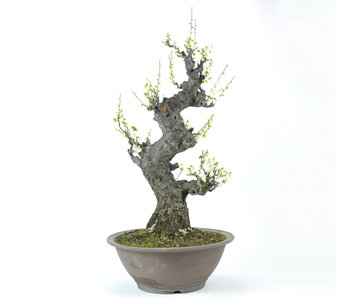Japanse abrikoos 700 mm, ± 50 jaar oud