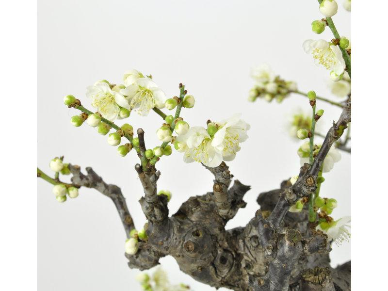 Albicocca giapponese 700 mm, ± 50 anni