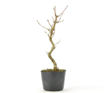 Trident Maple 170 mm, ± 5 years old
