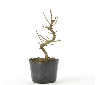 Trident Maple 110 mm, ± 5 years old