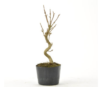 Trident Maple 140 mm, ± 5 years old