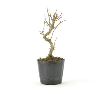 Trident Maple 120 mm, ± 5 years old