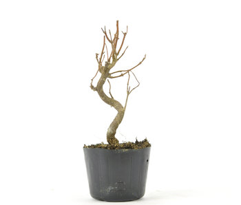 Trident Maple 130 mm, ± 5 years old