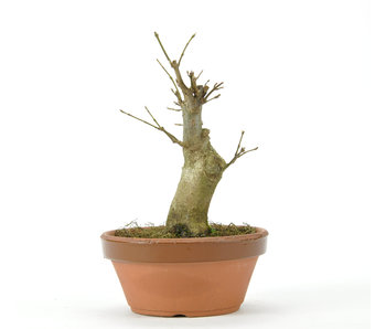 Trident Maple 150 mm, ± 15 years old