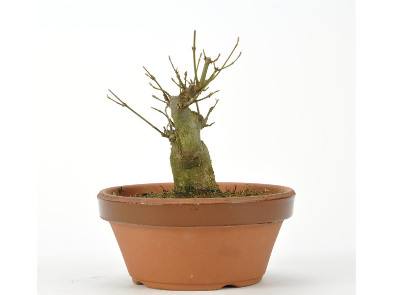 Trident Maple 100 mm, ± 15 years old