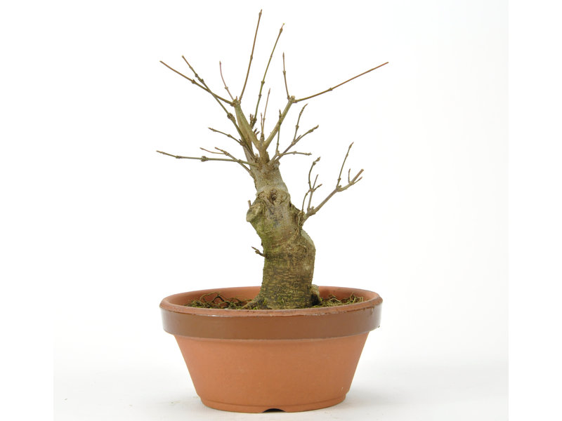 Trident Maple 160 mm, ± 15 años
