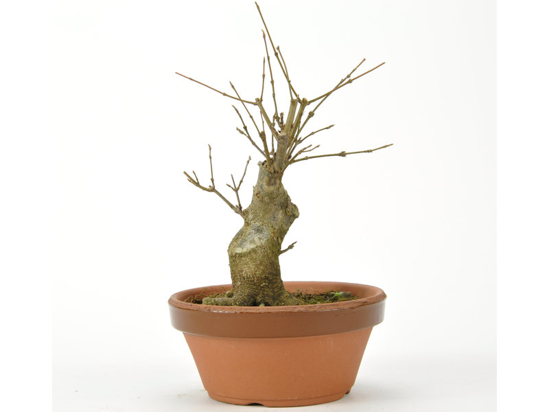 Trident Maple 160 mm, ± 15 years old
