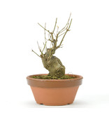 Trident Maple 140 mm, ± 15 years old