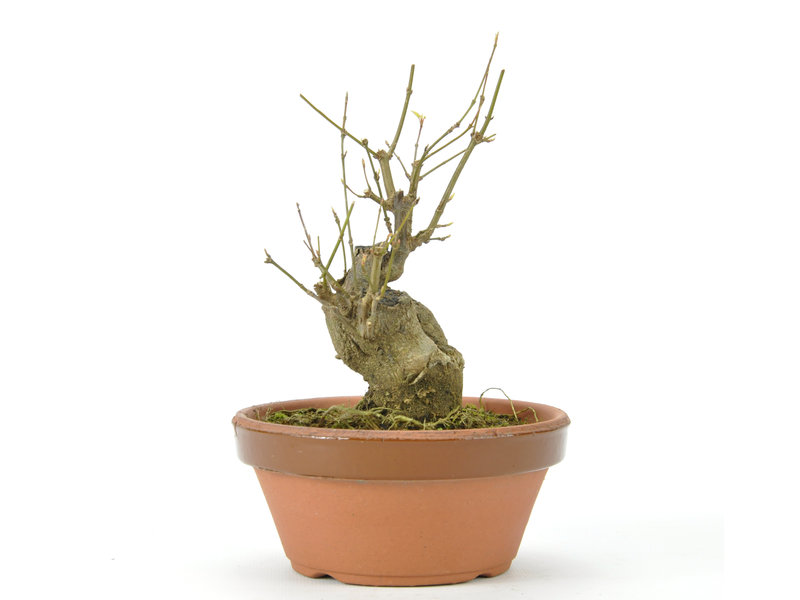 Trident Maple 140 mm, ± 15 anni
