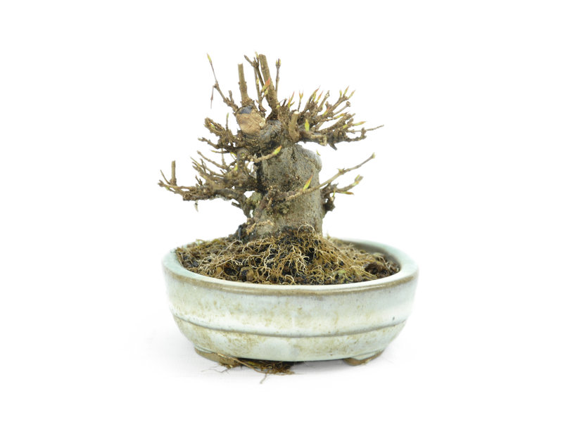 Trident Maple, 9 cm, ± 15 years old