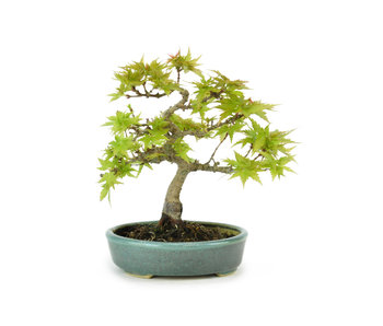 Japanese Maple (Kotohime), 13 cm, ± 8 years old