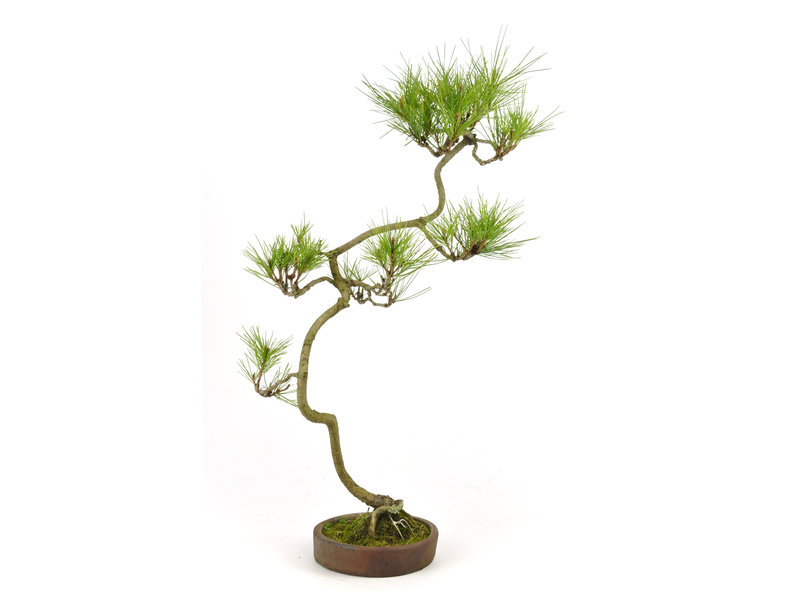 Japanese red pine, 56 cm, ± 12 years old