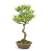 Japanese red pine, 35 cm, ± 23 years old