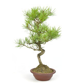 Japanese red pine, 37 cm, ± 23 years old