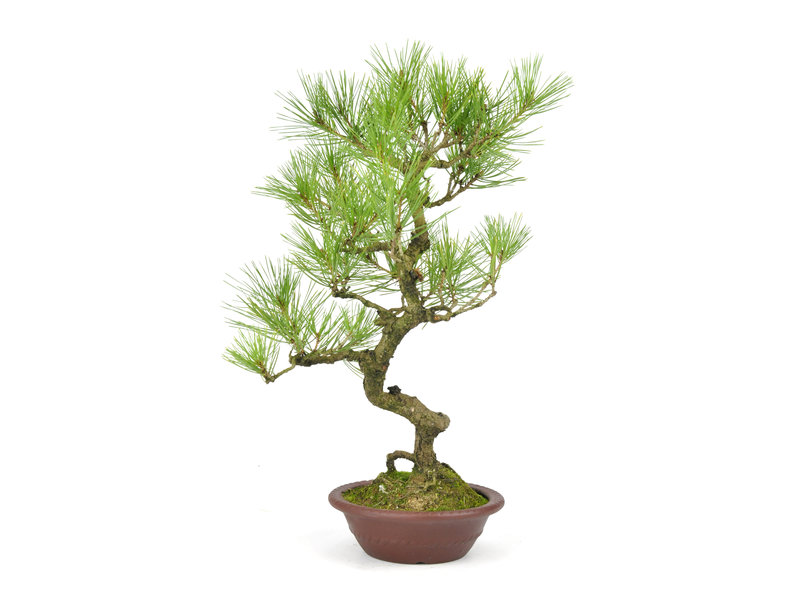 Japanese red pine, 36 cm, ± 23 years old