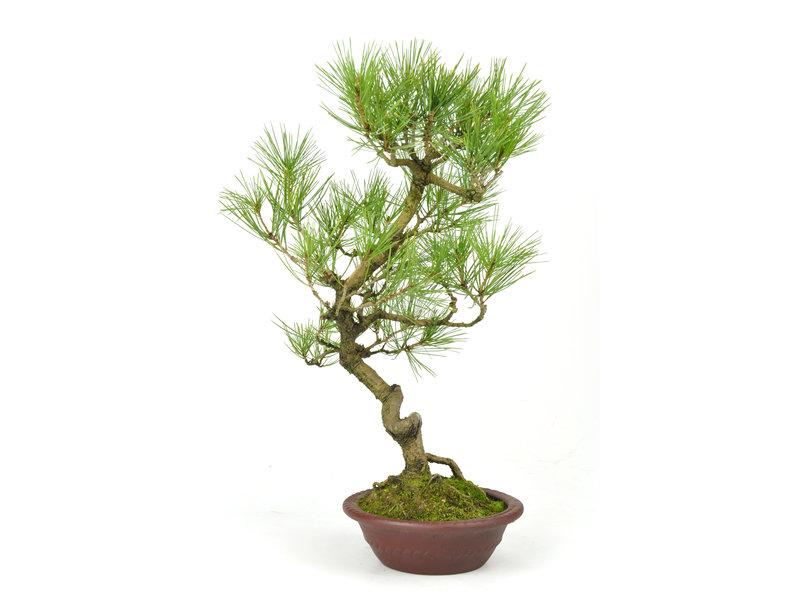 Japanse rode den, 36 cm, ± 23 jaar oud