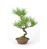 Japanese red pine, 30 cm, ± 23 years old
