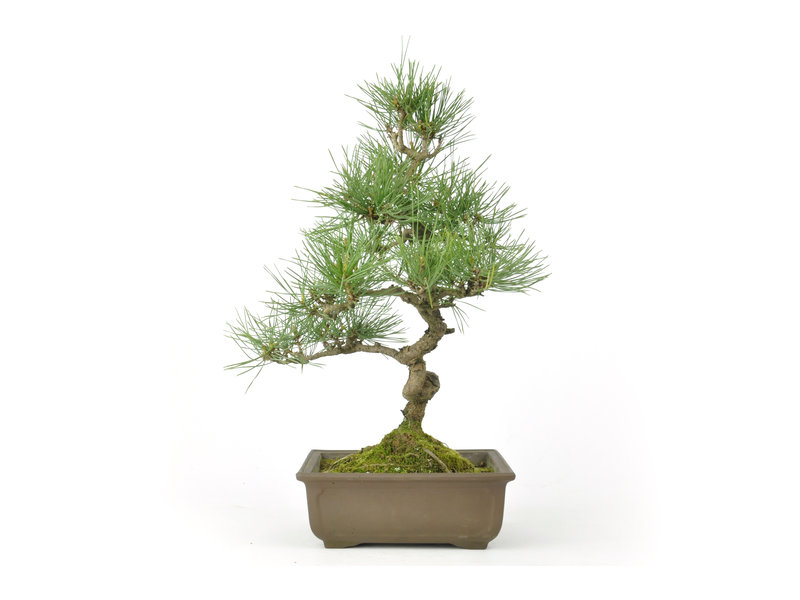 Japanese red pine, 28 cm, ± 23 years old