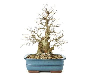 Carpino coreano, 32 cm, ± 60 anni